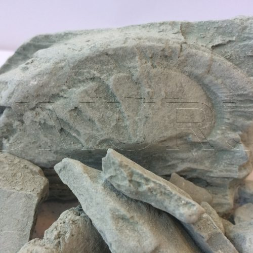 Lembu Ton Blau Cambrian